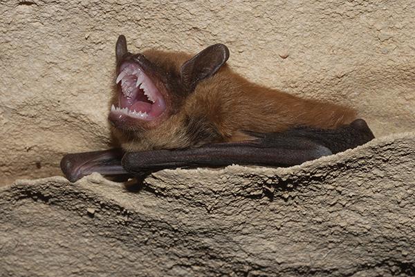 Bat Flying Squirrel Exclusion Photo Of Big Brown Bat
