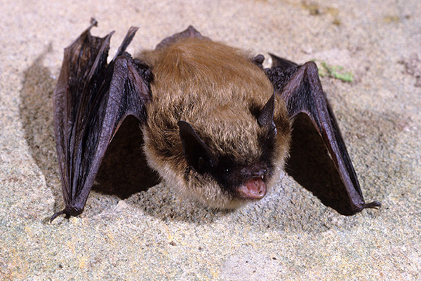 New Hampshire Bat Control Photo Of Eastern Small Footed Bat