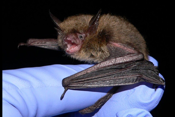 New Hampshire Bat Control Photo Of Northern Long Eared Bat