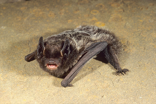 New Hampshire Bat Control Photo Of Silver Haired Bat